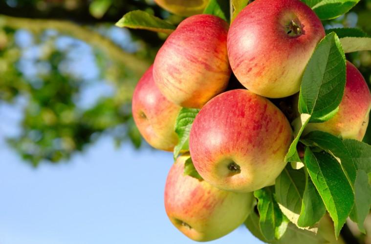 Erntereife farbenfrohe Äpfel am Ast
