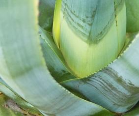 Der Artikel berichtet über die Heilpflanze Aloe Vera.