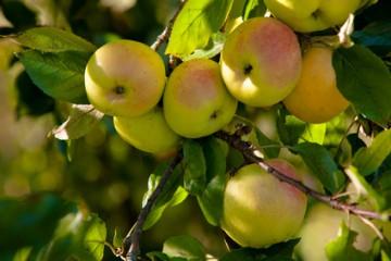Ein ungespritzter Apflebaum
