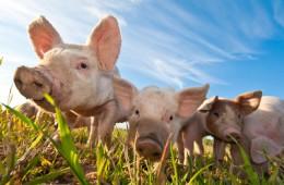 Artikelgebend ist artgerechte Tierhaltung vorm Verzehr.