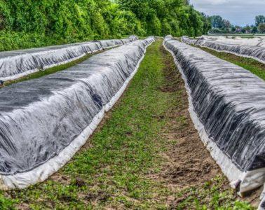 Smart Farming: Spargel-Kontrolle per App möglich