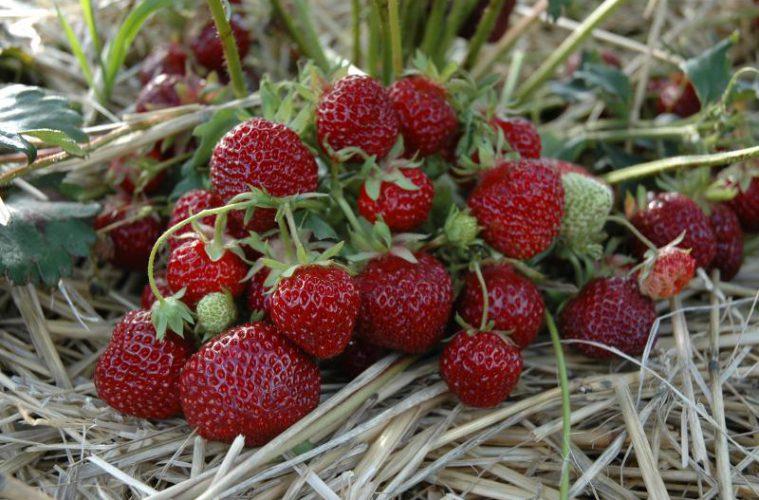 Das Geheimnis der Erdbeere ist ihr Geschmack